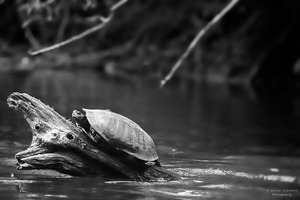 Eastern Painted Turtle (Black & White)