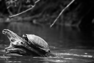 Eastern Painted Turtle (Black & White)