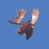 Moose Head #7029