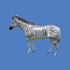 Zebra, life size #7062
