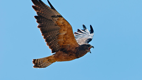 hawk in flight with mouth open
