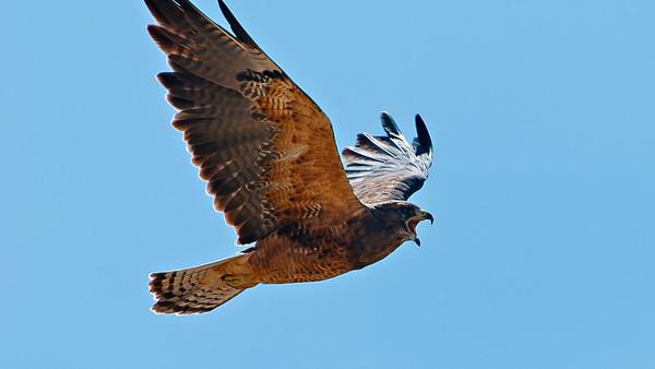 hawk in flight with mouth open
