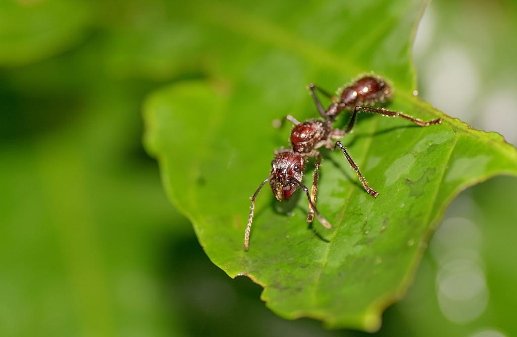 Isula (Paraponera Clavata)