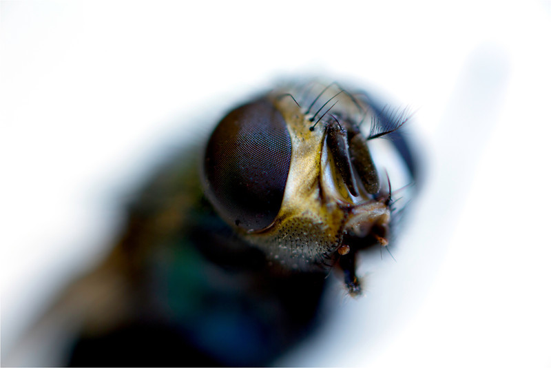 Detail of a fly