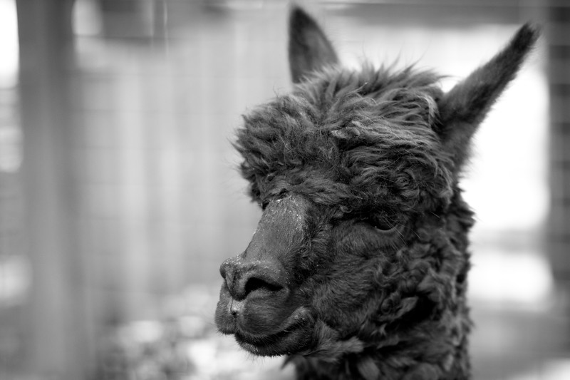 Lama at the Central Park Zoo - Tisch Petting Zoo