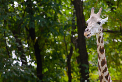 Giraffe at the Bronx Zoo