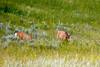 Young Deers