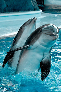 Dolphins playing at the Mirage, Las Vegas - 2012