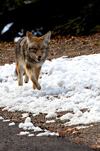 Coyote at Yosemite National Park - 2012