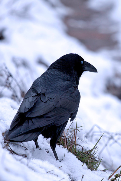 Crow in Yosemite National Park