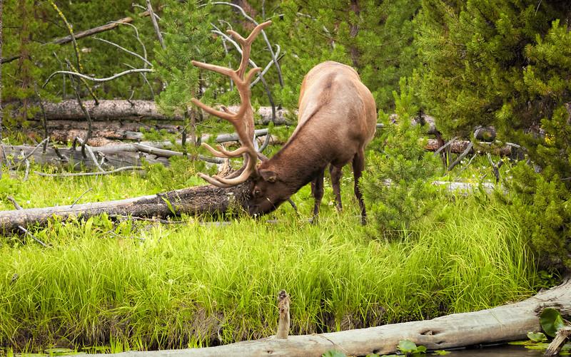 Hungry Elk