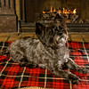 Radar, a Cairn Terrier with a very good life, lounges in the glow of the fireplace
