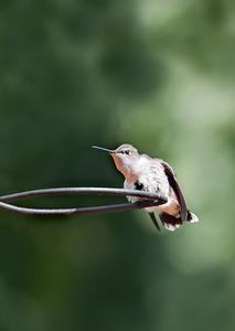 female ruby-throated hummingbird ready for flight