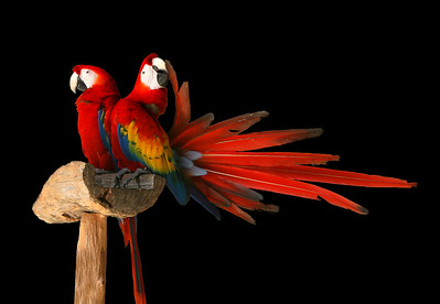 two parrots billing and cooing