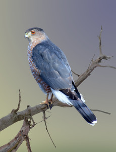 a Cooper's hawk sitting on a branch.