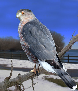 a Coopers hawk sitting on a branch near a lake