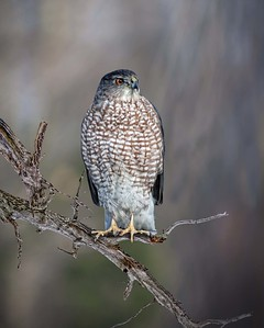 Cooper's Hawk on a Branch