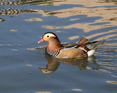 A wood duck in a pond