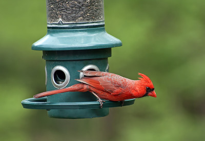 male cardinal in threatening position