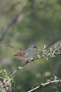 White-crowned sparrow on a branch