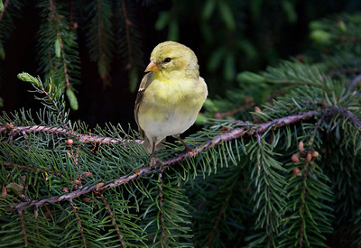 a female goldfinch on a spruce tree branch