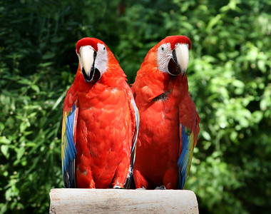 tropical parrots at feeder in Mexico