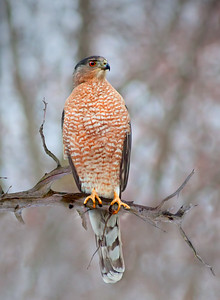A hawk on a bare branch, probably a Cooper's Hawk
