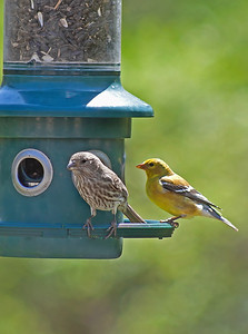 Male Goldfinch and female Purple finch