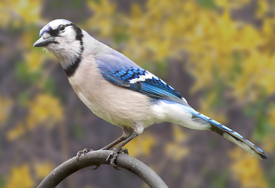 blue jay with a background of forsythias