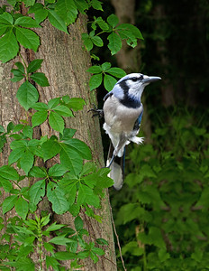 Bluejay on a tree
