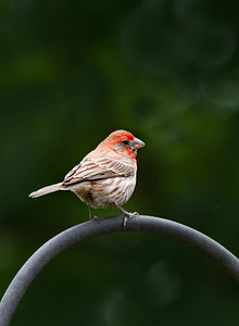 a male purple (or house) finch