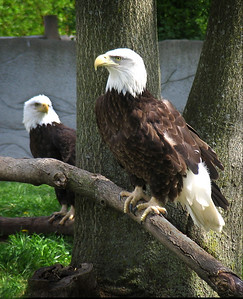 2 American bald eagles at rest