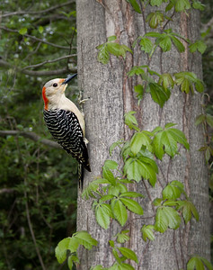 a red-bellied woodpecker on a tree