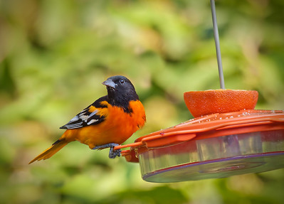 a male Baltimore oriole at a feeder