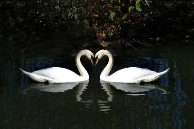 2 white swans