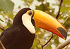 a South American toucan