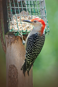 Yellow-bellied Woodpecker - male