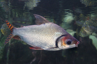 Flagtail Fish - Semaprochilodus insignis