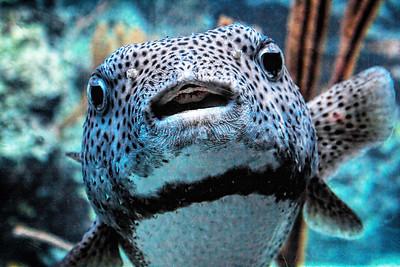 Puffer, Puff Fish