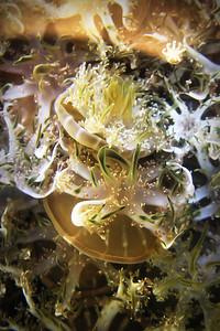 Upside Down Jellyfish - Cassiopea