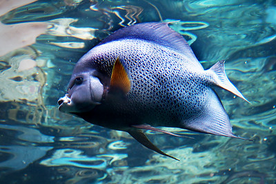Grey French Angelfish