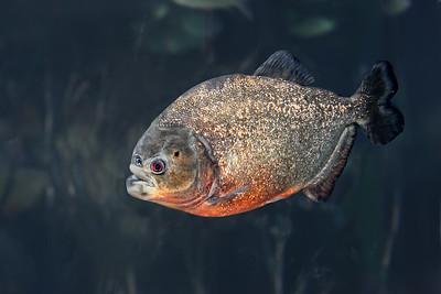 Piranha aka Caribe Fish