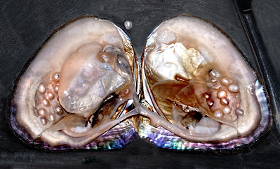 cultured pearls in situ in oyster