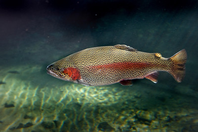 a brilliantly colored rainbow trout