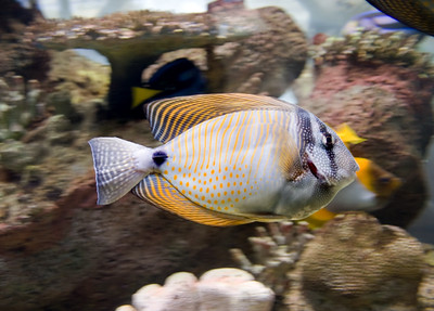 a lovely salt water tropical fish and coral