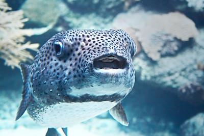 Puffer Fish, Puffer