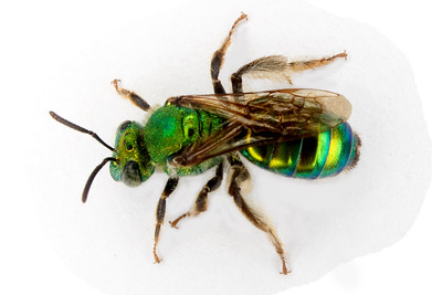 iridescent green bee