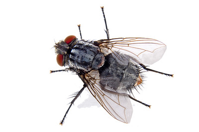 close up of an ordinary house fly