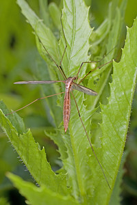 a crane fly on greenery