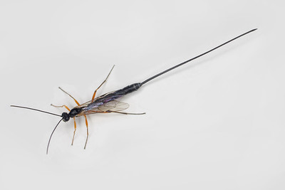 a Banchinae parasitic wasp with a long ovipositor